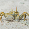 "Ghost crab ""yellow"""