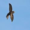 Tårnseiler / Common Swift