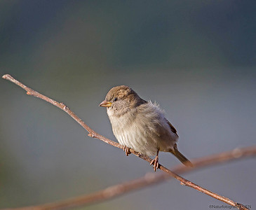 Spurv / Sparrow