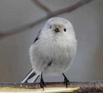 Meiser / Tit (bird)