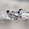 Taksvale / Common house martin