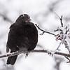 svarttrost ps-9837-2