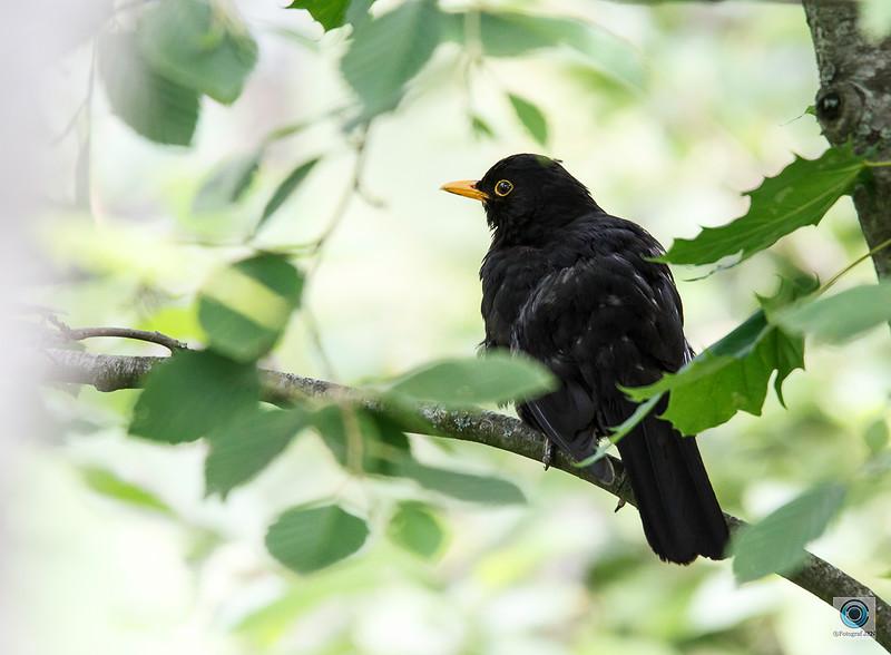 Svarttrost / Common blackbird