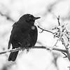 svarttrost ps-9843 – Kopi