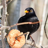 Svarttrost / Common blackbird