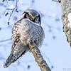Haukugle / Northern hawk-owl