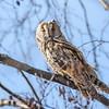 Hornugle / Long-eared owl