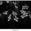 Dogwood Flowers in B&W