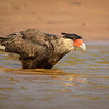 Souther crested caracara taking a bath