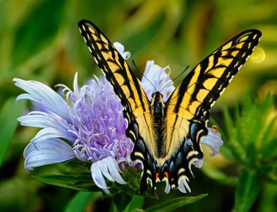 Eastern Tiger Swallowtail Butterfly