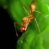 Weaver ant mimic jumping spider (Male)<br /> Family: Salticidae<br /> Genus: Myrmarachne