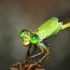 Coromandel  Marsh  Dart?<br />  (Ceriagrion  coromandelianum)