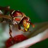 Paper Wasp<br /> Genus:Ropalidia<br /> Species:marginata?