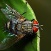 Flesh Fly<br /> Family: Sarcophagidae