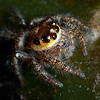 Another Jumper<br /> Family : Salticidae