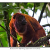 Red Howler Monkey (Alouatta seniculus)<br /> Everyday we woke up to the calls of this monkey...apparently the second loudest animal on the planet...saw lots of these monkeys around the camp