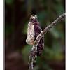 Roadside Hawk (Rupornis magnirostris)<br /> Subspecies - occiduus ?? Handheld shot on a swaying boat...VR works!!