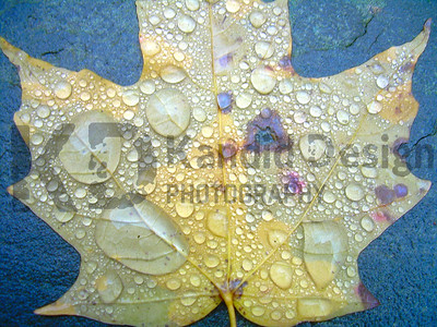 "1st Place Award Winning Photo in the Easton Arts Council Show 2008-2009 ""Water Leaf"""