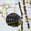 Cameron Prairie NWR, Lake Charles, Louisiana 01112018 050