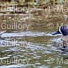 Lacassine Pool, Lacassine NWR, Lake Arthur, Louisiana 02052018 003