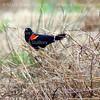 Pintail Wildlife Drive, Cameron Prairie NWR, Louisiana 02052018 154