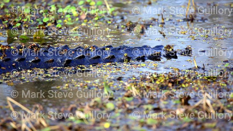 Lake Martin, Breaux Bridge, Louisiana 02192018 041