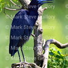 RIPs Rookery, Jefferson Island, New Iberia, Louisiana 04252018 043