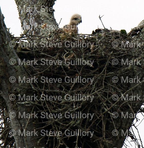 Hawk's Nest, St Mary Parish, Louisiana 04212018 004