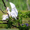 RIPs Rookery, Jefferson Island, New Iberia, Louisiana 05012018 043