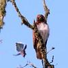 Hawk's Nest, St Mary Parish, Louisiana 05032018 127
