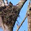 Hawk's Nest, St Mary Parish, Louisiana 05032018 129