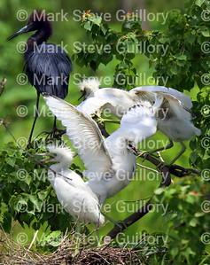 RIPs Rookery, Jefferson Island, New Iberia, Louisiana 06142018 026