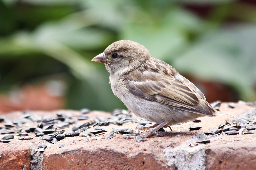 Little Sparrow Eating Seeds