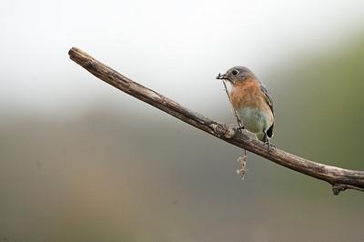 Eastern Bluebird (Feale), Cayuga, Ontario, Canada