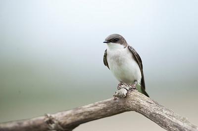 Tree Swallow (Female), Cayuga Ontario, Canada