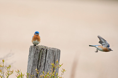 Eastern Bluebird (Male & Female), Cayuga, Ontario, Canada