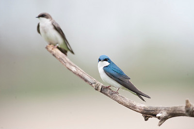 Tree Swallow (Male & Female), Cayuga Ontario, Canada