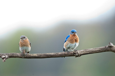 Eastern Bluebird (Female & Male), Cayuga, Ontario, Canada