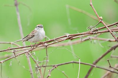 Chipping Sparrow, Cayuga Ontario, Canada
