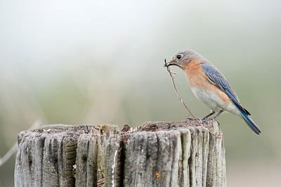 Eastern Bluebird (Female), Cayuga, Ontario, Canada