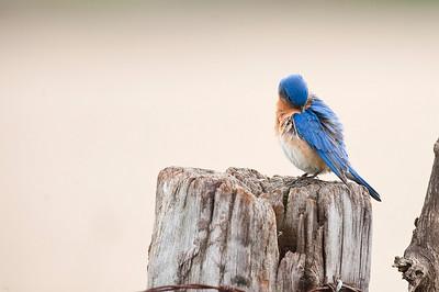 Eastern Bluebird (Male), Cayuga, Ontario, Canada