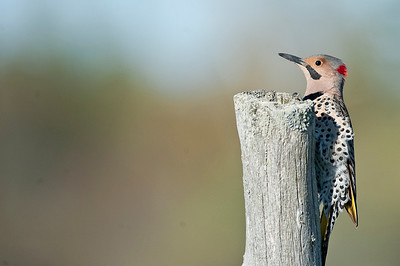 Northen Flicker, Kirkfield Ontario, Canada