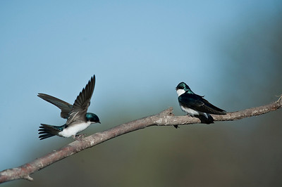Tree Swallow, Kirkfield Ontario, Canada