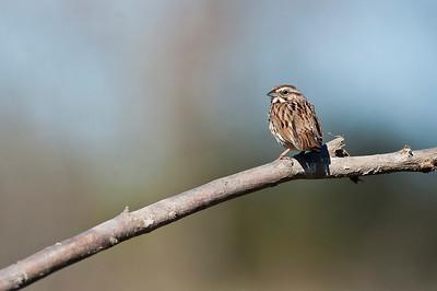 Song Sparrow, Kirkfield Ontario, Canada