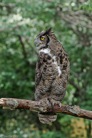 Black Phased Great Horned Owl