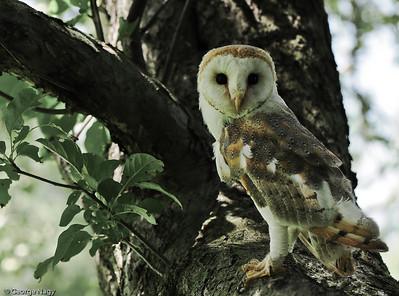 Western Barn Owl