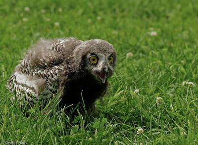 Juvenile Snowy Owl - 9 Weeks Old