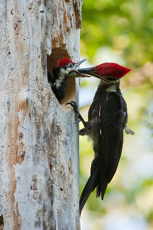 Pileated Woodpecker (Male) - Feeding the young chicks