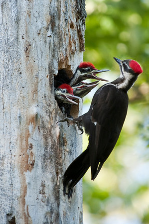 Pileated Woodpecker (Female) - Feeding the young chicks