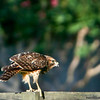 Juvenile Red Hawk